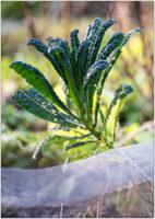 Palmkohl im winterlichen Gemüsebeet © 2020 Sabine Lommatzsch