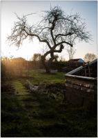 Knorriger Apfelbaum in Wintersonne © 2020 Sabine Lommatzsch