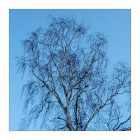 Birke im Wind © 2020 Sabine Lommatzsch