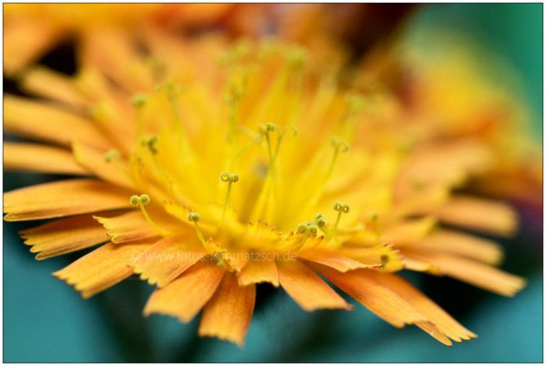 Blütenmakro 2 © 2017 Sabine Lommatzsch