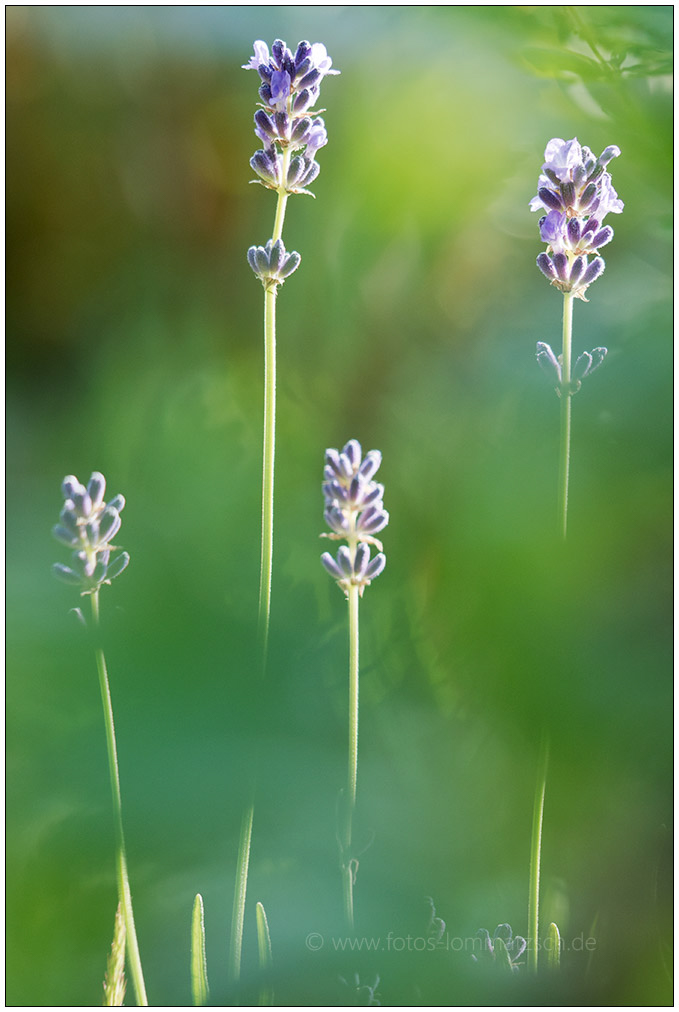 Lavendel © 2017 Sabine Lommatzsch