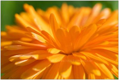 Orangene Ringelblume © 2017 Sabine Lommatzsch