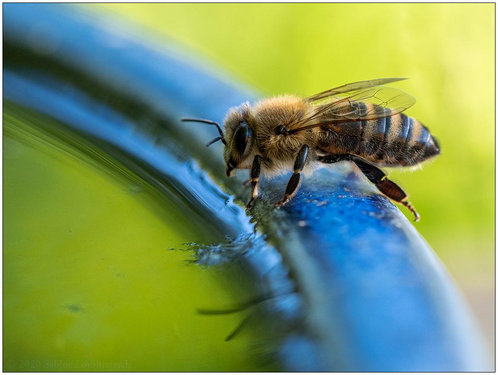 Biene an Wasserstelle © 2020 Sabine Lommatzsch