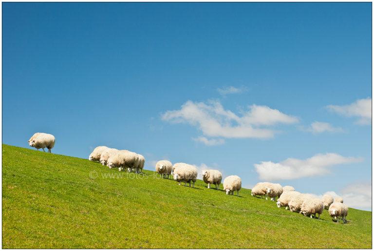 Schafherde auf Nordstrander Deich © 2007 Sabine Lommatzsch